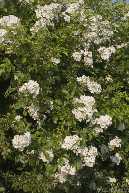 Rosa corymbifera agg. - Hecken-Rose