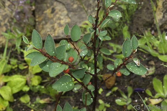 Cotoneaster interregimus - Gewöhnliche Zwergmispel