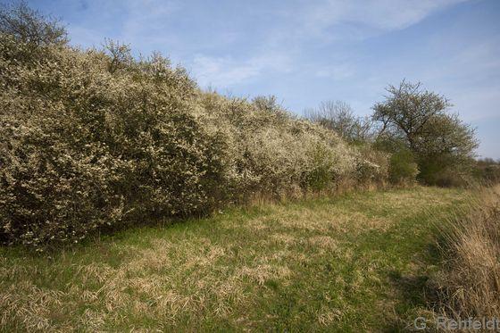 Prunus spinosa - Schlehe (BMS)