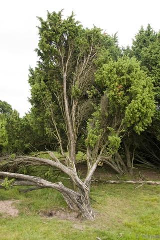 Juniperus communis - Wacholder