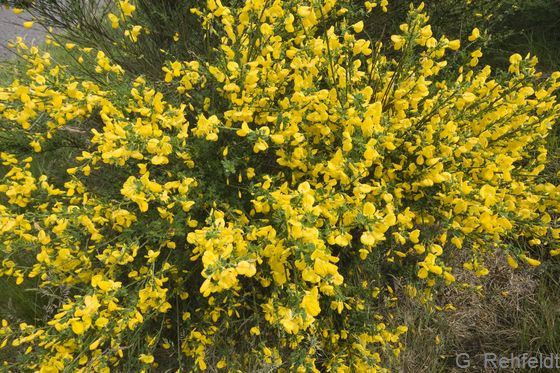 Cytisus scoparius - Besenginster, Versen