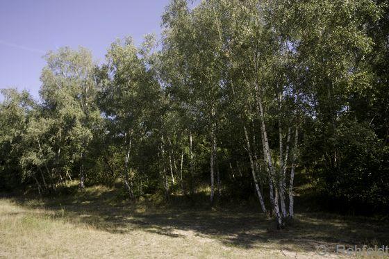 Betula pendula - Hänge-Birke