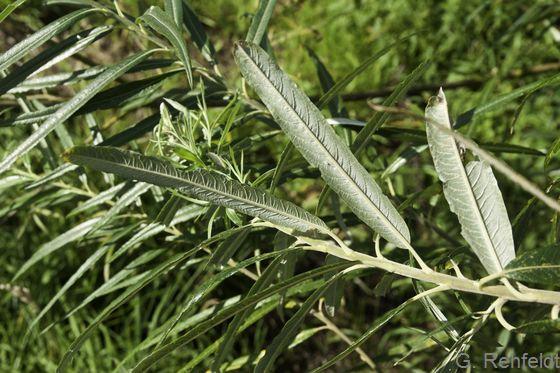 Salix viminalis - Korb-Weide