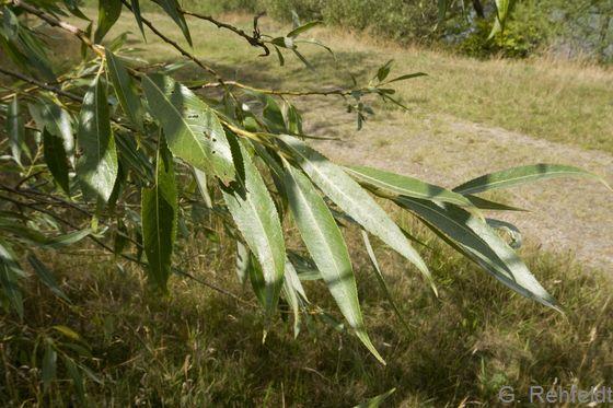 Salix fragilis - Bruch-Weide