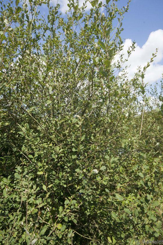 Salix cinerea - Grauweide