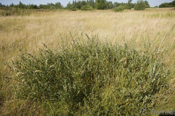 Salix repens - Kriech-Weide (BFA)