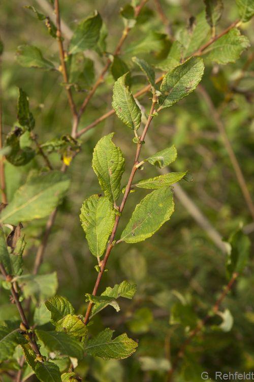 Salix aurita - Ohr-Weide