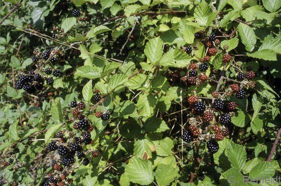 Rubus fruticosus agg. - Brombeere (BRR)