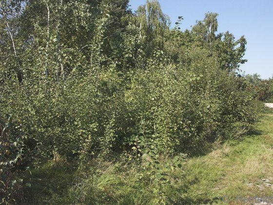 Populus tremula - Zitterpappel (BRS)