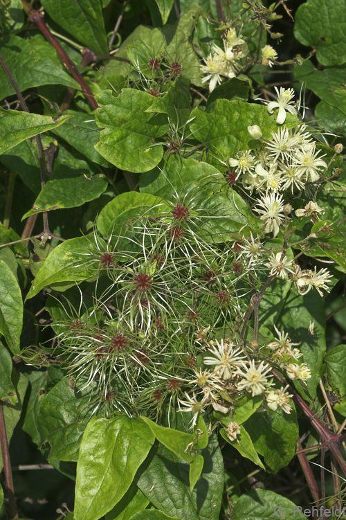Clematis vitalba - Gewöhnliche Waldrebe (BRR)