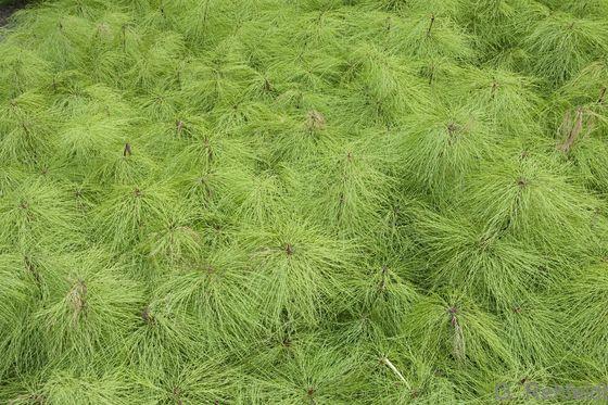 Equisetum sylvaticum - Wald-Schachtelhalm