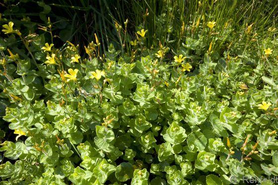 Hypericum elodes - Sumpf-Johanniskraut (o)