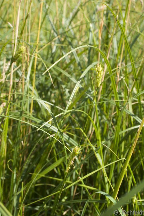 Carex lasiocarpa - Faden-Segge (d)
