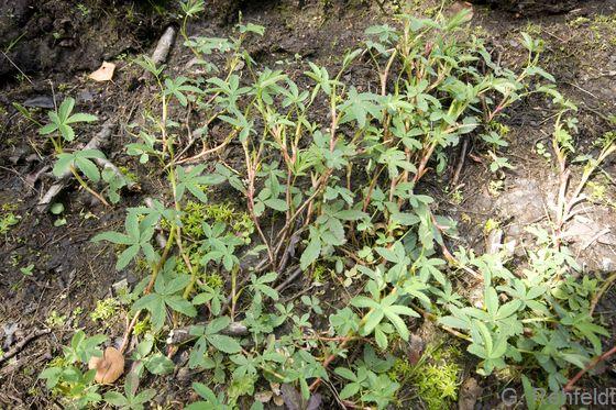 Potentilla palustris - Sumpfblutauge