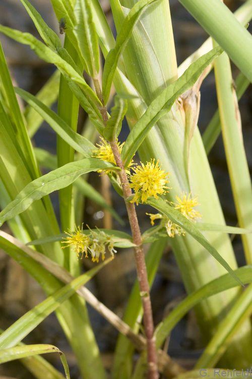 Lysimachia thyrsiflora - Straußblütiger Gilbweiderich