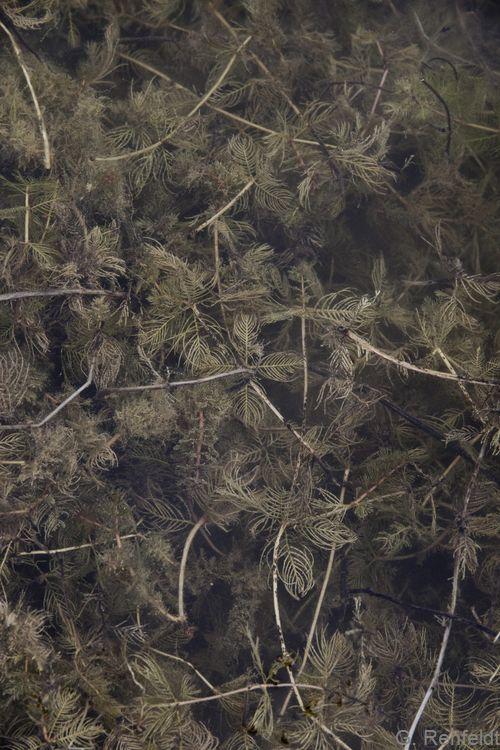 Myriophyllum spicatum - Ähriges Tausendblatt