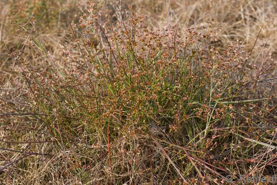 Juncus bulbosus - Zwiebel-Binse (SPA)