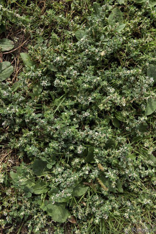 Corrigiola litoralis - Hirschsprung (SPM)