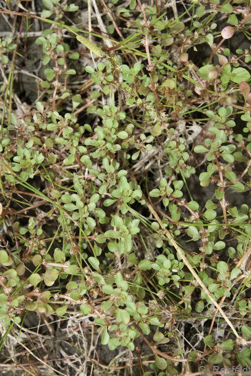 Lythrum portula - Sumpfquendel (SPM)