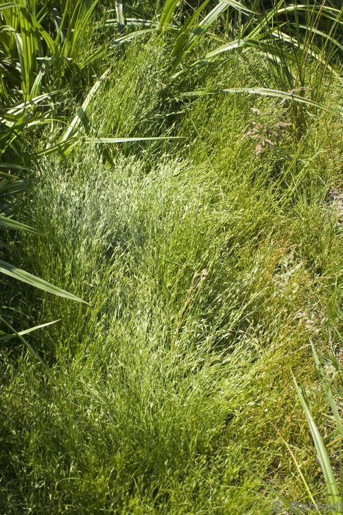 Juncus bufonius - Krötenbinse (SPM)