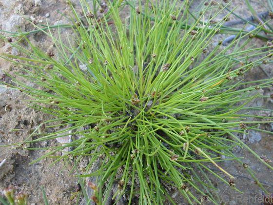 Isolepis setacea - Borstige Schuppensimse (SPM)