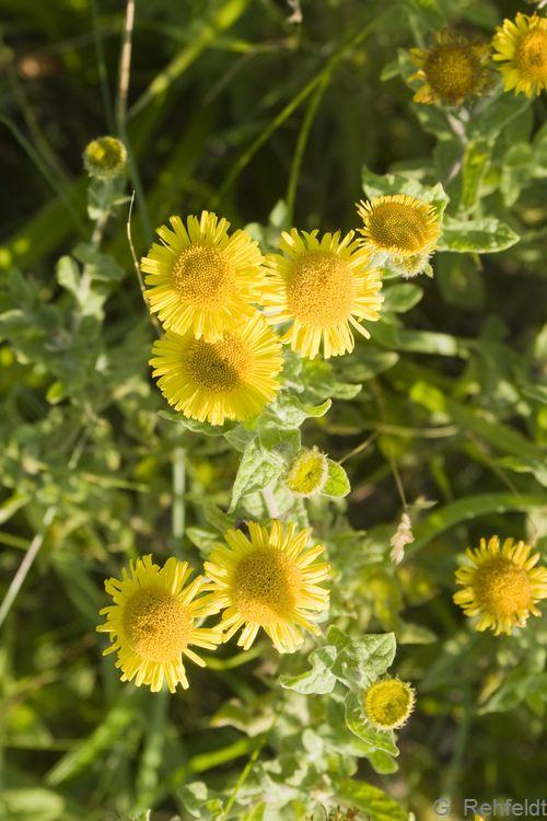Tephroseris palustris - Moor-Greiskraut (SPR)