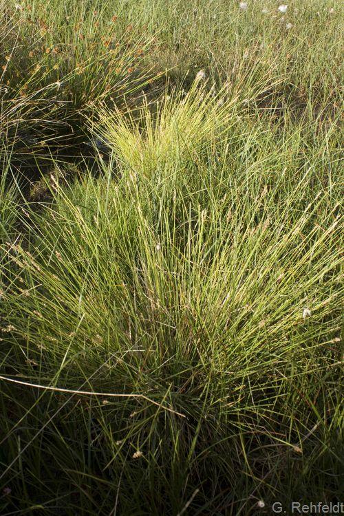 Carex canescens - Graue Segge (NSA)