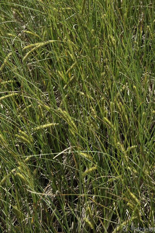 Carex rostrata - Schnabel-Segge (NSA)