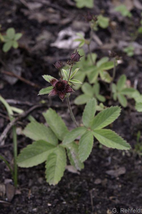 Potentilla palustris - Sumpf-Fingerkraut (NSA)