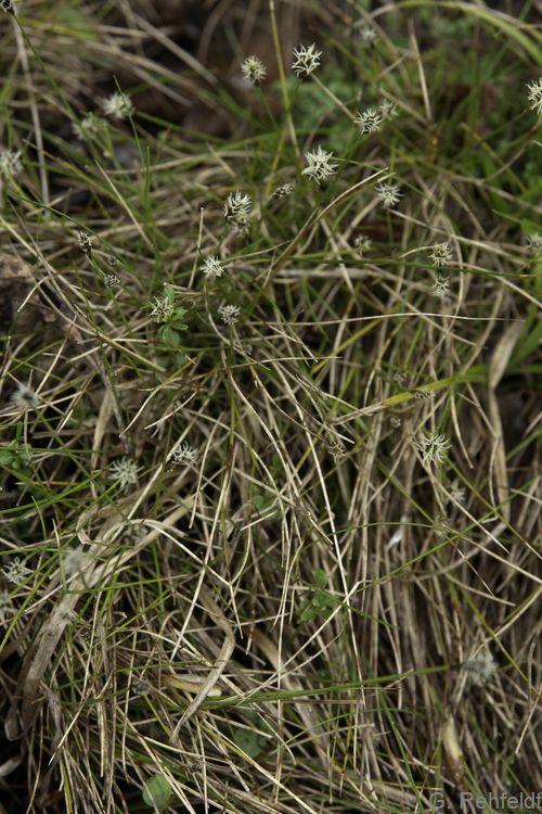 Carex dioica - Zweihäusige Segge (NSK)