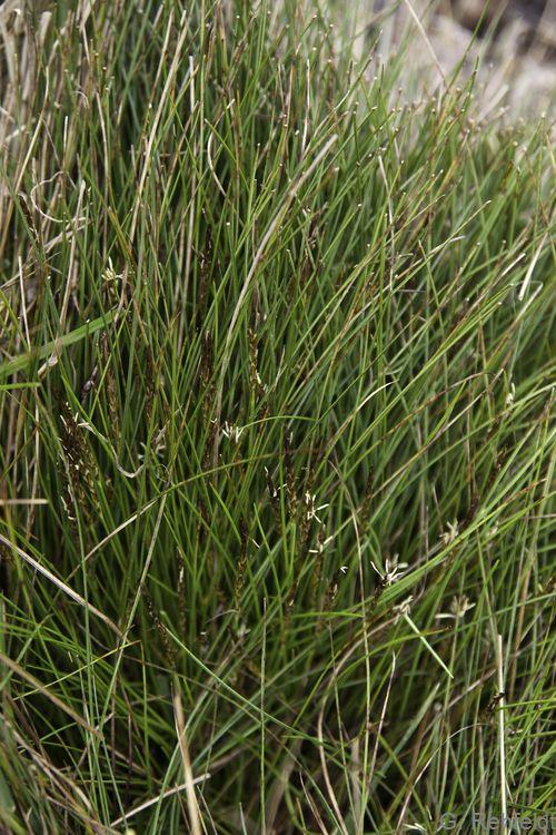 Carex pulicaris - Floh-Segge (NSK)