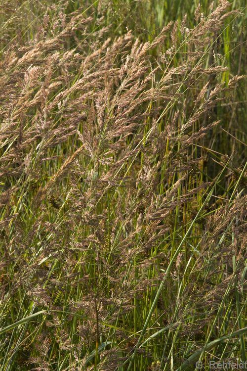 Calamagrostis canescens - Sumpf-Reitgras (NSM)
