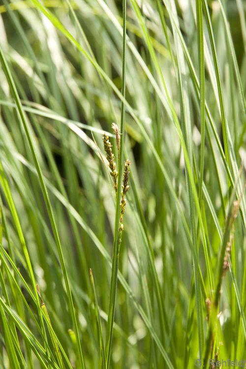 Carex nigra - Wiesen-Segge (NSM)
