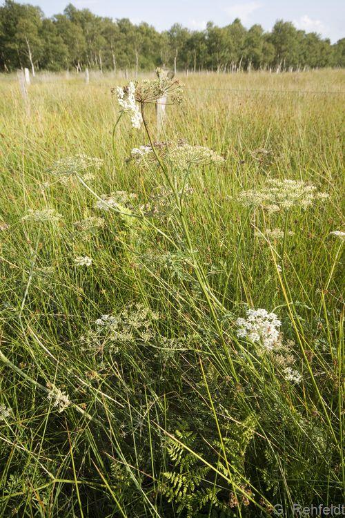 Peucedanum palustre - Sumpf-Haarstrang (NSM)
