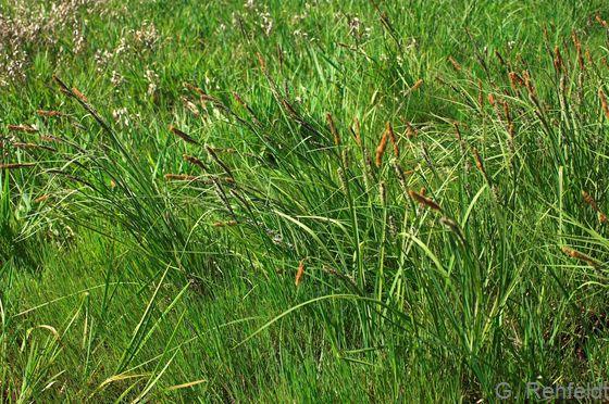 Carex acuta - Schlank-Segge (NSG)
