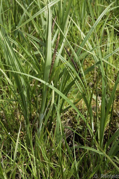 Carex aquatilis - Wasser-Segge (NSG)