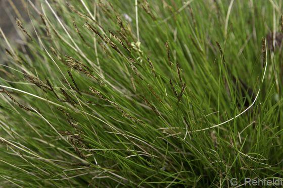 Carex appropinquata - Schwarzschopf-Segge (NSG)