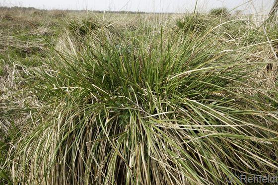 Carex paniculata - Rispensegge (NSG)
