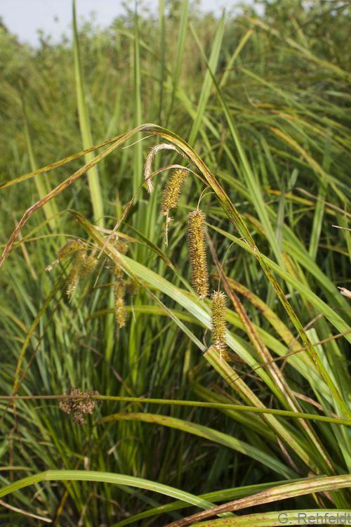 Carex pseudocyperus - Scheinzypergras-Segge (NSG)