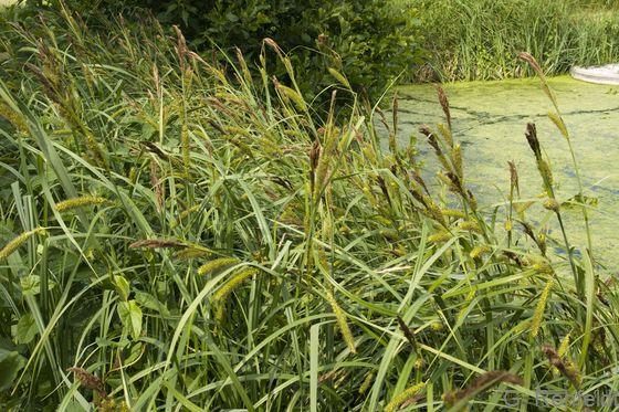 Carex riparia - Ufer-Segge (NSG)