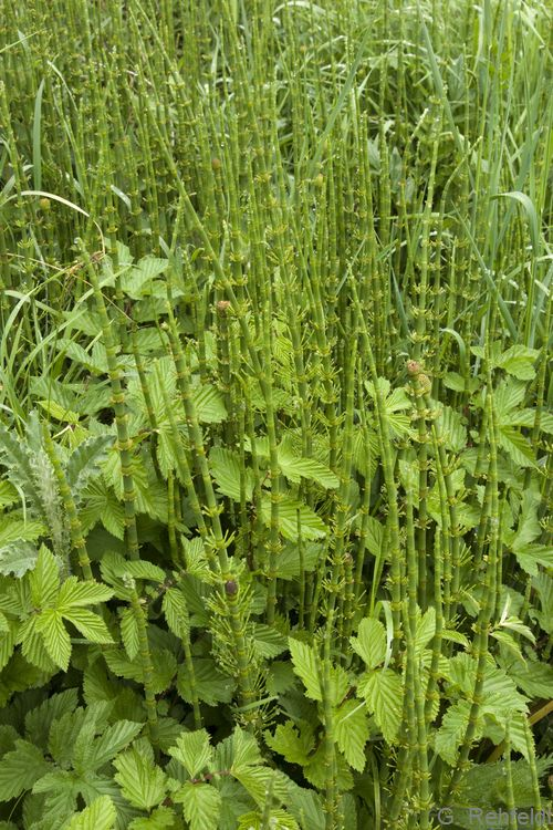 Equisetum fluviatile - Teich-Schachtelhalm (NSR)