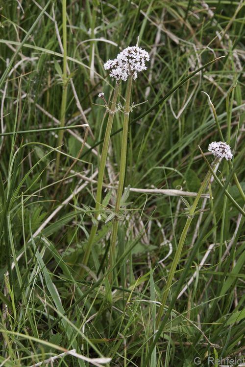 Valeriana dioica - Kleiner Baldrian (NSR)
