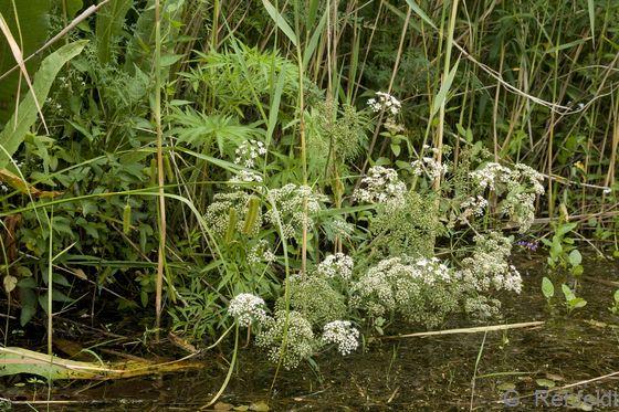 Cicuta virosa - Wasserschierling (NRZ)