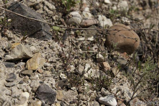 Hymenolobus procumbens - Salztäschel (NHZ)
