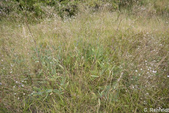 Gypsophila scorzonerifolia - Schwarzwurzel-Gipskraut (NHZ)