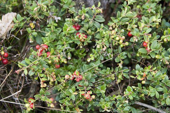 Vaccinium vitis-idaea - Preiselbeere