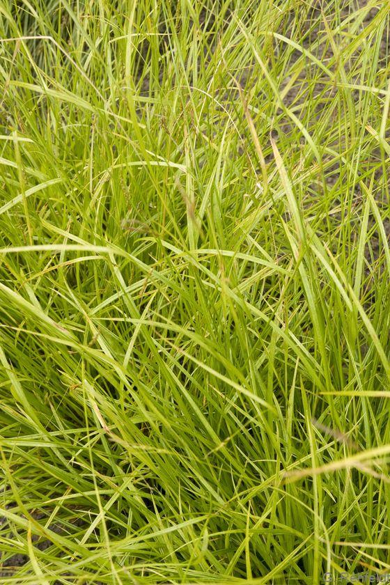 Carex pallescens - Bleiche Segge
