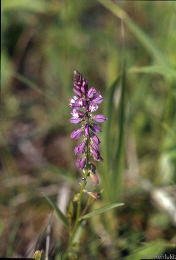 Gemeine Kreuzblume (Polygala vulgaris)