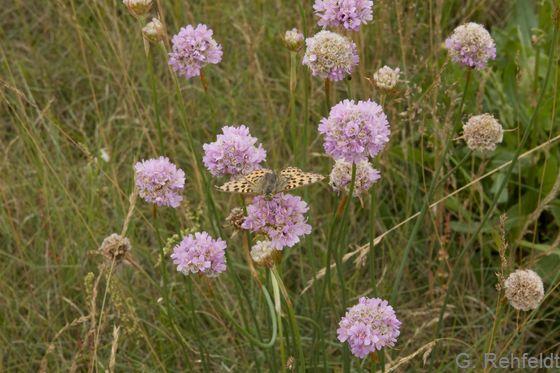 Armeria maritima subsp. elongata - Sand-Grasnelke (RSR)