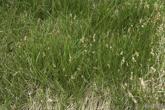 Carex praecox - Frühe Segge (RSR)